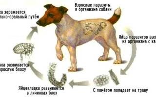 Как и что дать собаке от глистов?