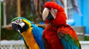 Как быстро научить попугая говорить?
