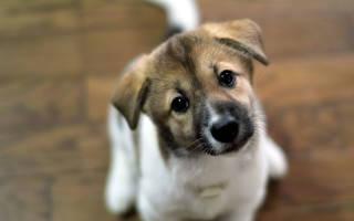 Какие бывают глисты у щенка?