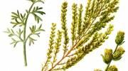 Как принимать цитварное семя?