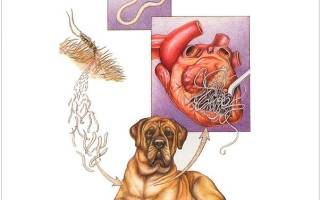 Что делать если в сердце у собаки глисты?