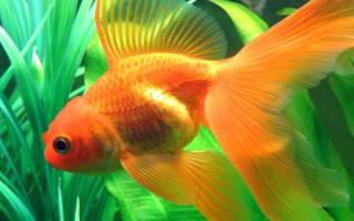 Аквариумные золотые рыбки: рекомендации по уходу, разновидности, размножение