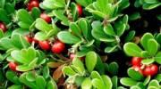 Какие травы применяют при воспалении почек?