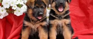 Чем и как правильно кормить щенка немецкой овчарки