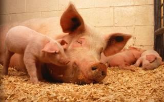 Как распознать и избежать аскаридоза свиней и кур