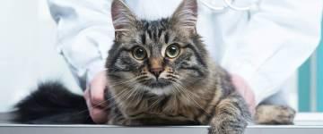 Всё о гипертрофической кардиомиопатии у кошек