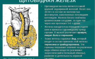 Щитовидная железа: роль и строение органа