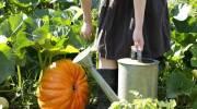 Как правильно садить тыкву на компостной куче?