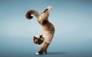 Как можно дрессировать кота в домашних условиях