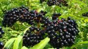 Лечебные свойства бузины черной