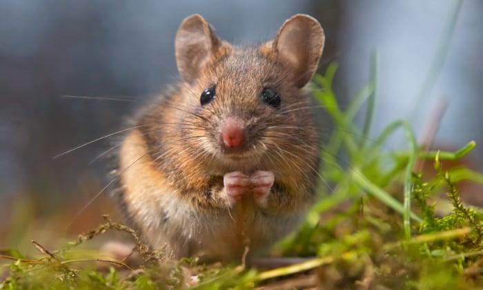 Как поймать мышь дома