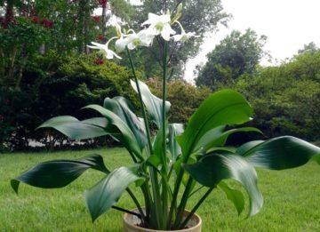 Эухарис: уход в домашних условиях, полив, подкормка, стимуляция цветения