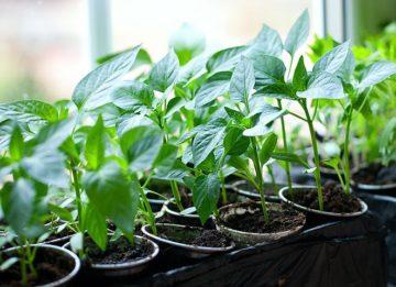 Как вырастить здоровую рассаду в домашних условиях