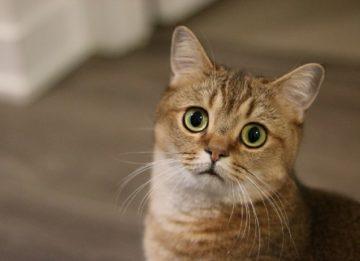 Стоит ли кастрировать кота
