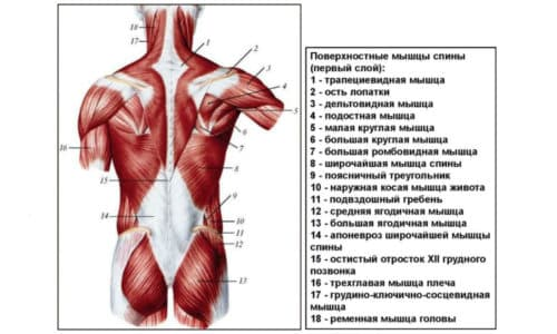 Поверхностные мышцы - это довольно обширная группа, включающая в себя немало самых разных мышц, расположенных внизу спины