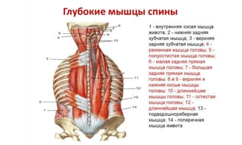 Глубокие мышцы спины «отвечают» за стабильность позвоночного столба, они же известны под именем поперечно-остистых мышц