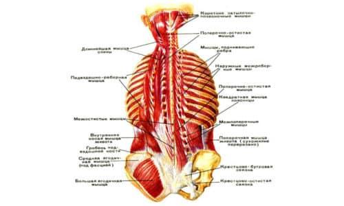 Правильно развитые мышцы спины обеспечивают хорошую осанку и уверенную походку любому человеку