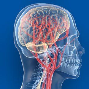Признаки неразвитости кровеносной системы