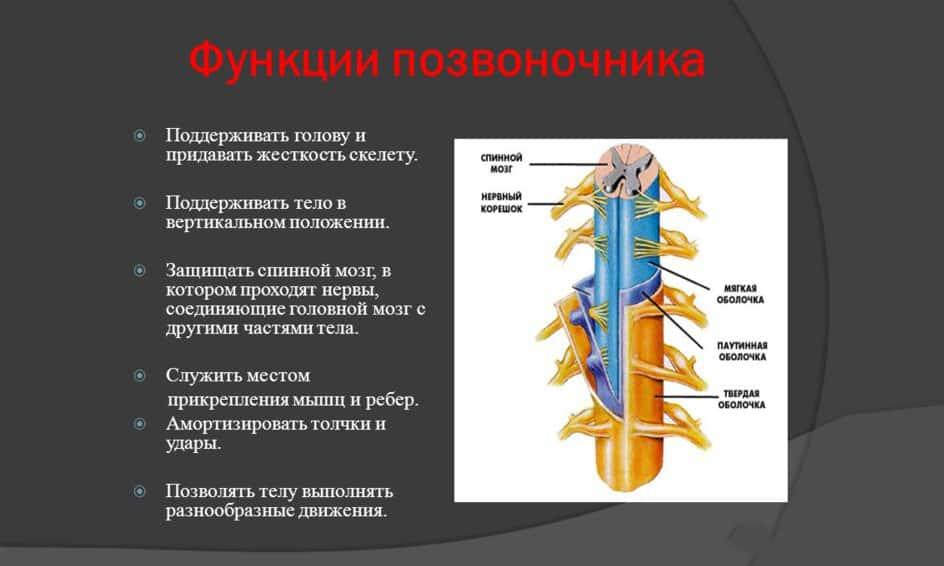 Функции позвоночника