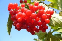 Польза ягод калины при миоме