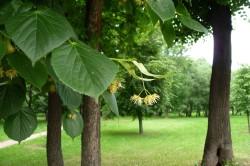 Листья липы для лечения кашля