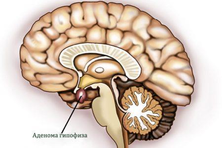 Анатомия и функции гипофиза