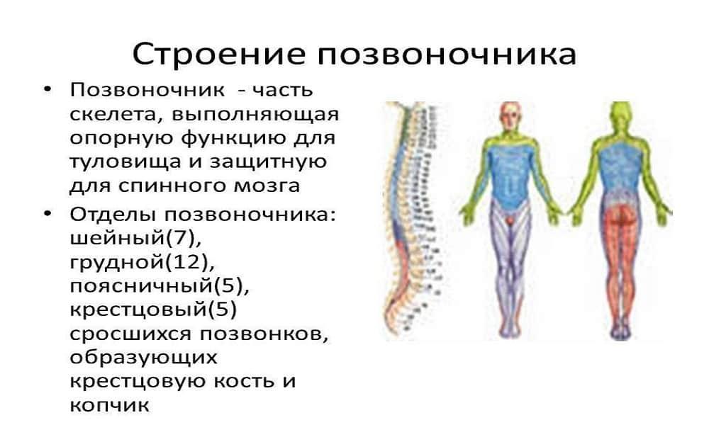 Немного анатомии