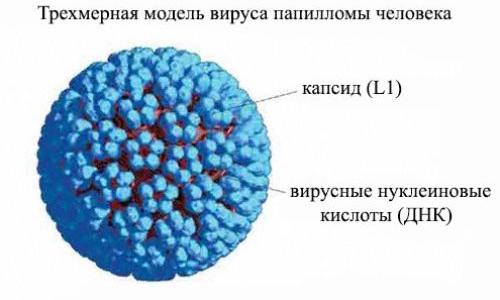 Вирус папилломы человека