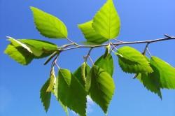 Листья березы для восстановления менструального цикла