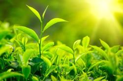 Чайные листья при лечении потливости под мышками