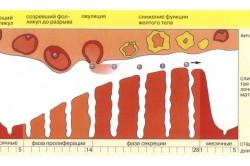 Схема менструального цикла женщины
