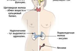 Основные эндокринные железы