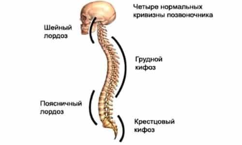 Соединения позвоночного столба: от хрящей до нервных окончаний