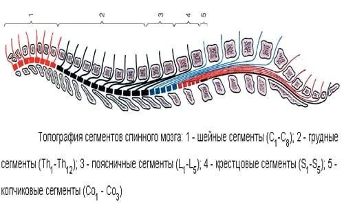 Анатомия серого вещества фото