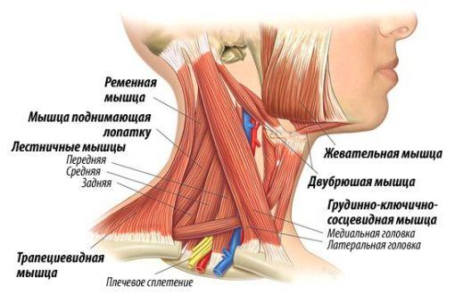 Патология анатомических образований шеи и плеч