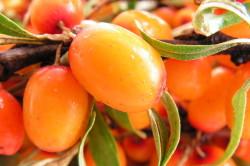 Использование ягод облепихи с алое