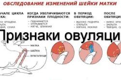 Состояние шейки матки в период овуляции