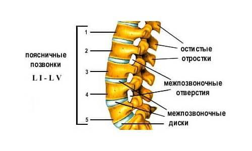 Соединения позвоночного столба: от хрящей до нервных окончаний фото