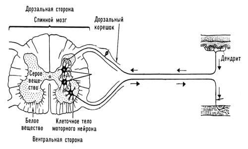 Анатомия серого вещества