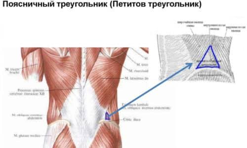 Поясничный треугольник ограничивается сзади широчайшей мышцей спины, спереди - косой наружной мышцей живота, снизу - гребнем подвздошной кости