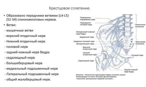 Анатомия крестцового сплетения