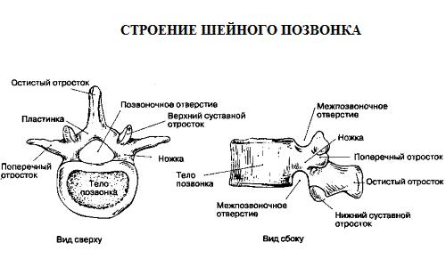 Строение шейного позвонка