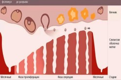 Схема менструального цикла